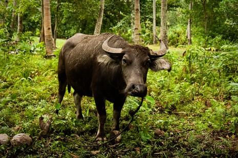 water buffalo (also know as a carabou)