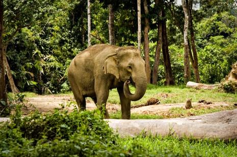 Mek Bunga - Kuala Gandah Elephant Sanctuary