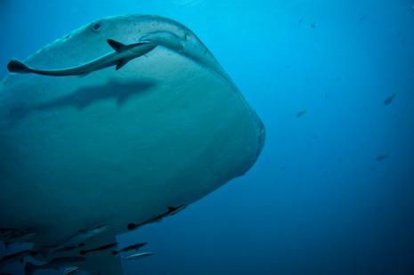 whale shark, koh tao, thailand