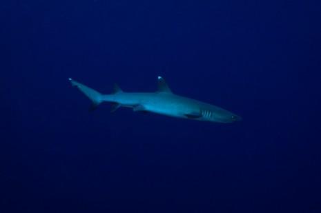 White Tip Reef Shark, Sipadan, Borneo