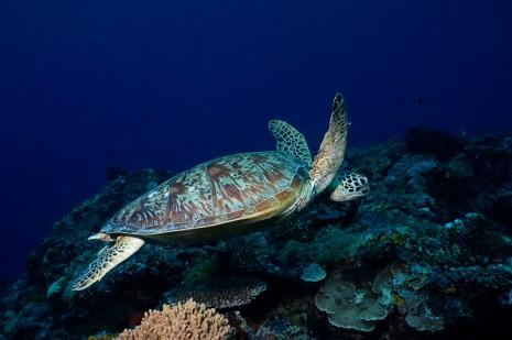 Turtle, Sipadan, Borneo
