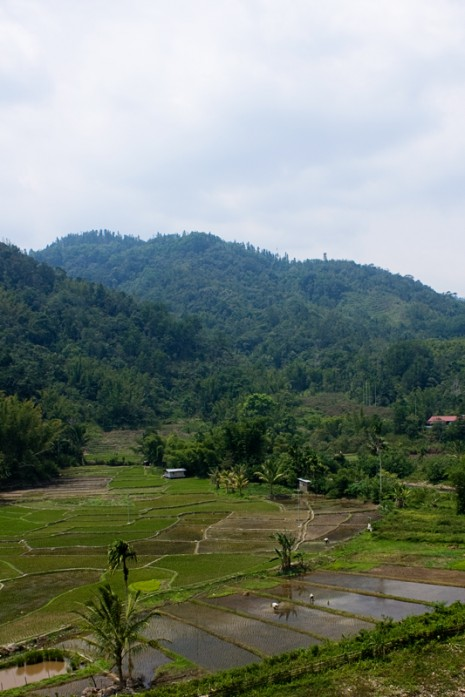 Borneo Rice Paddy
