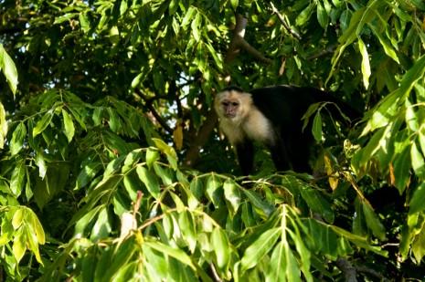 White Faced Monkey, Granada, Nicaragua