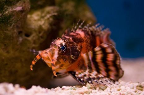 Fu Man Chu Lionfish - Underwater World, Pantai Cenang, Langkawi, Malaysia