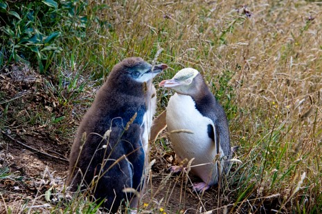 Yellow Eyed Penguins, Dunedin, New Zealand