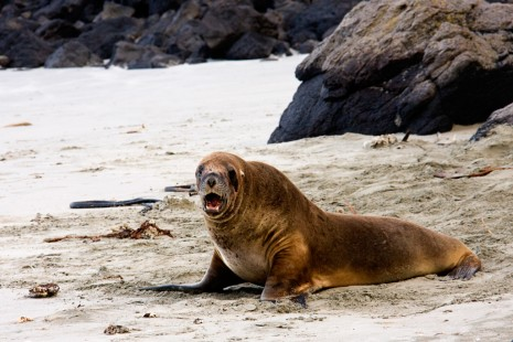 Hooker Sea Lion, Dunedin, New Zealand
