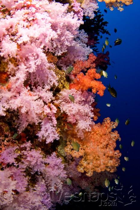 Rainbow Reef, Taveuni, Fiji