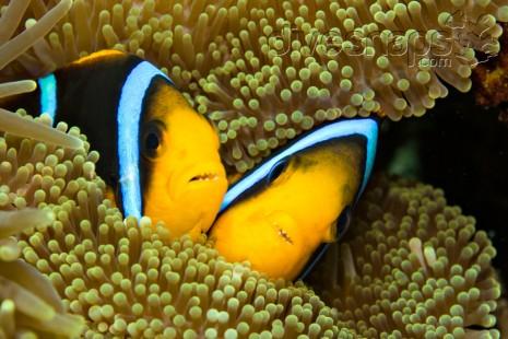 Anemone Fish – Rainbow Reef, Taveuni, Fiji