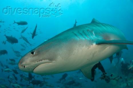Shark Dive, Pacific Harbour, Fiji