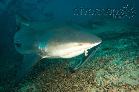 Bull Shark — Scuba Diving Fiji