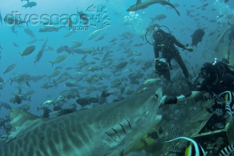 Tiger Shark — Scuba Diving Fiji