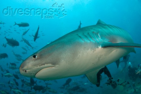 Diving with Sharks in Fiji photo