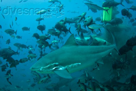 Shark Diving Fiji